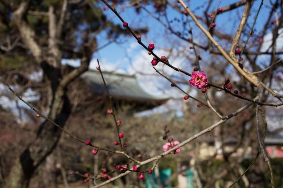 Plum blossom viewing